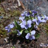 Viola oreades - Фиалка горная