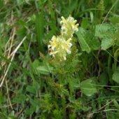 Pedicularis condensata - Мытник сжатый