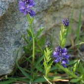 Polygala alpicola - Истод альпийский