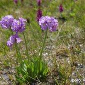 Primula auriculata - Первоцвет (Примула) ушковатый