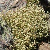 Saxifraga exarata - Камнеломка рыхлая