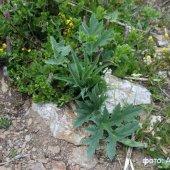 Heracleum roseum - Борщевик розовый