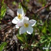 Anemonastrum fasciculatum - Ветреница пучковатая