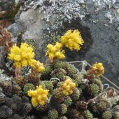 Saxifraga scleropoda - Камнеломка сухоногая