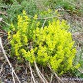 Cruciata rugosa - Круциата морщинистая