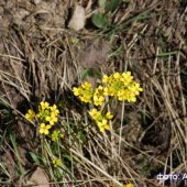 Draba sibirica - Крупка сибирская