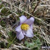 Pulsatilla violaceae - Сон фиолетовый