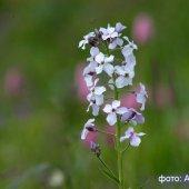 Hesperis caucasica - Вечерница кавказская