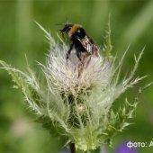 Cirsium obvallatum - Бодяк окутанный