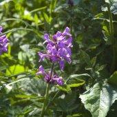 Betonica macrantha - Буквица крупноцветковая