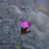 Dianthus ruprechtii - Гвоздика Рупрехта