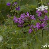 Betonica macrantha C.Koch - Буквица крупноцветковая