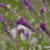 Hedysarum caucasicum Bieb. - Копеечник кавказский