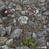 Saxifraga cartilaginea - Камнеломка хрящеватая